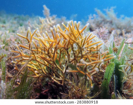 Fragile coral weed in seagrass - stock photo