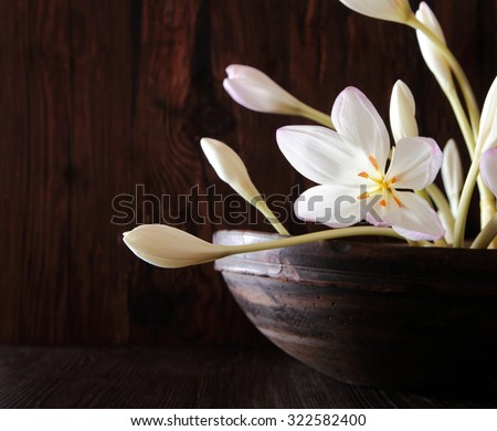 Fragile flowers and buds of the Autumn Crocus, Meadow Saffron orNaked lady, an autumn flowering medicinal bulb yielding colchicine for treating gout over a dark background with copyspace - stock photo
