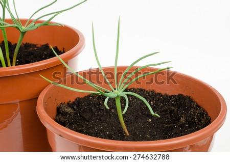 fragile pine seedling (pinus pinea) - stock photo