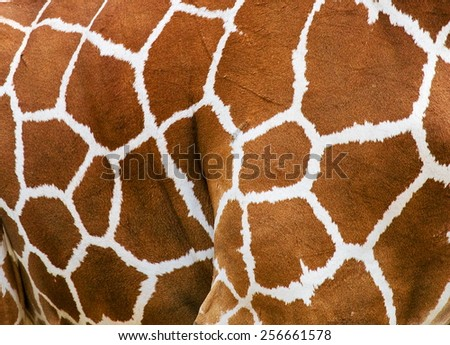 Fragment of a giraffe skin. Africa. Excellent background and illustration. - stock photo
