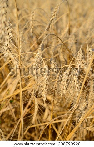 Fragment of field with ears of ripe wheat