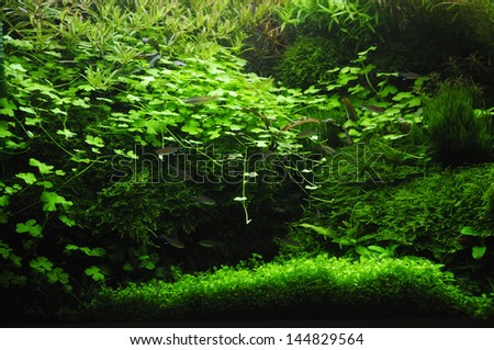 Fragment of the freshwater aquarium green plants and fishes