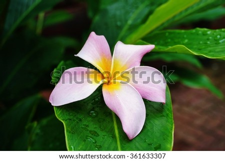 Fragrant blossoms of pink frangipani flowers, also called plumeria and melia