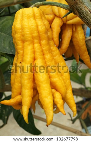 fragrant Buddha's hand or fingered citron  fruit, Citrus medica - stock photo
