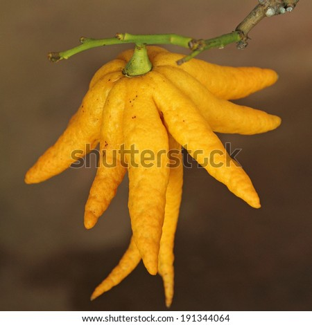fragrant Buddha's hand or fingered citron fruit, Citrus medica - growing in Orangery of Boboli Garden in Florence, Italy - stock photo
