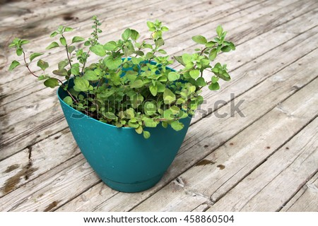 fragrant, green Greek oregano in pot with wooden background
