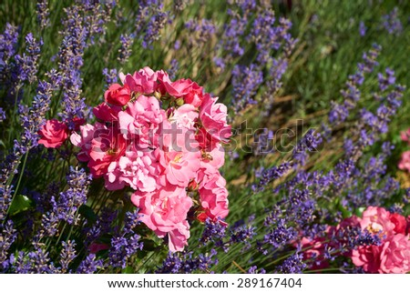 Fragrant lavender and beautiful roses in a garden