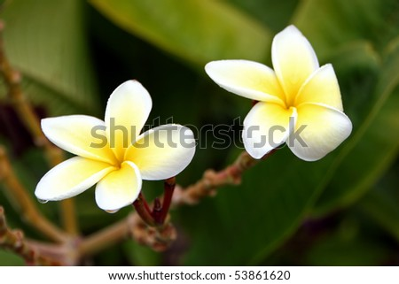 fragrant Plumeria flower blooming in yellow and white - stock photo