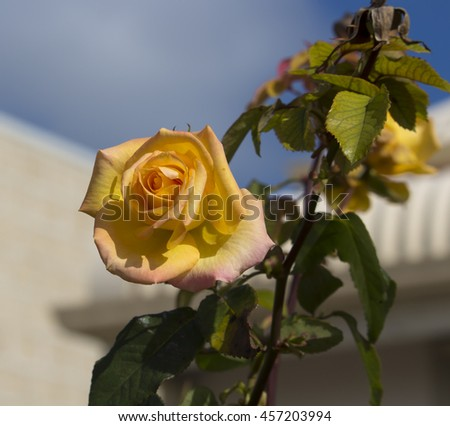 Fragrant romantic beautiful yellow suffused pink  rose blooming in winter after  a shower of rain  adds fragrance and beauty to the drab  garden landscape. - stock photo