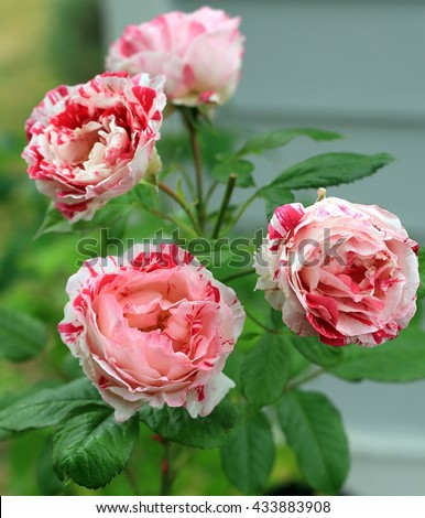 Fragrant Striped Red, White, and Pink Roses - stock photo