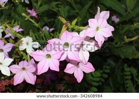 Fragrant tabak bloom in the garden - stock photo