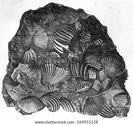 Frame fragment consisting only of rhynchonelle agglomerated, vintage engraved illustration. Earth before man  1886. - stock photo