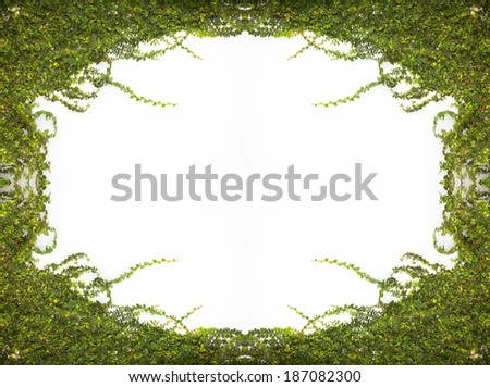 Frame The Green Creeper Plant on the Wall - stock photo