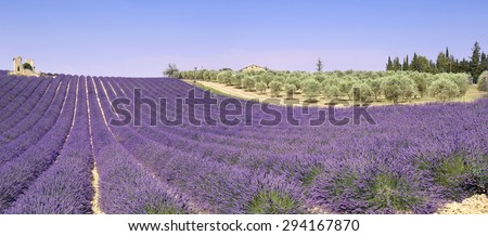 France, landscape of Provence: lavender fields and olive trees - stock photo