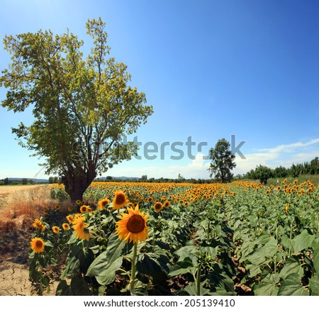 France - Sunflowers