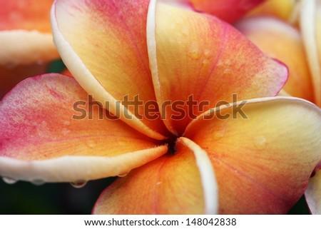 frangiapani flower - stock photo
