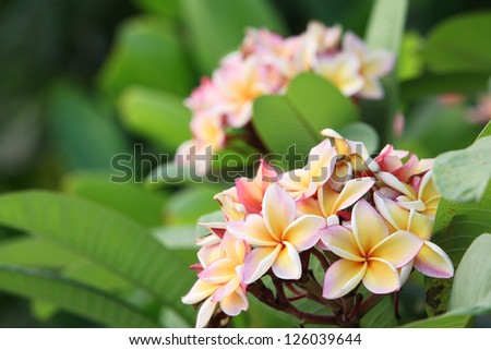 frangiapani flower,shallow dof. - stock photo