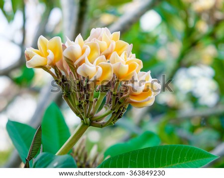 Frangipani and plumeria yellow flower top branche colorful refreshing - stock photo
