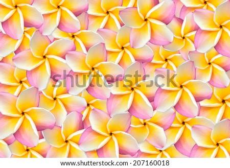 frangipani Background - stock photo