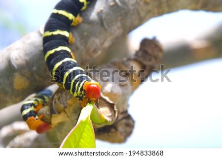 Frangipani Caterpillar(Pseudosphinx tetrio) Found on the US Virgin Islands - stock photo