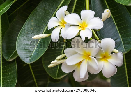frangipani flower - stock photo