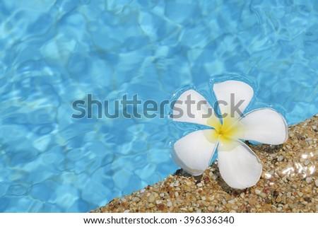 Frangipani flower in the swimming pool - stock photo