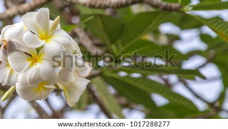 frangipani flower in tropical garden. plumeria flower, tropical flowers stem - spring day for Floral postcard.
