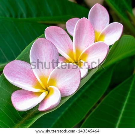 Frangipani flower isolated - stock photo