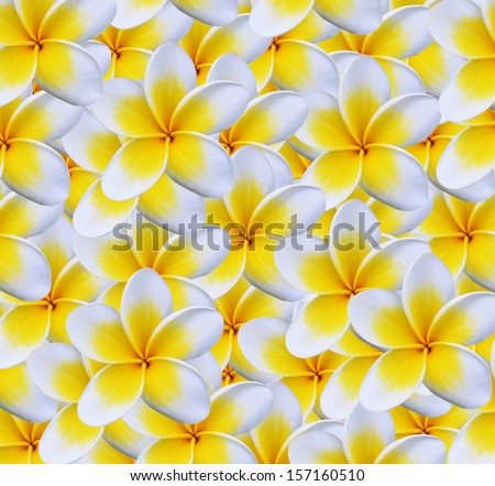 Frangipani flower isolated on white - stock photo
