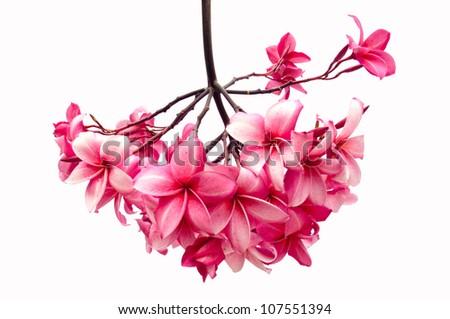 Frangipani flower isolated on white background (Plumeria) - stock photo