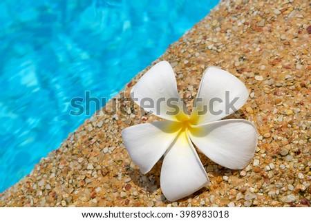 Frangipani flower near the swimming pool - stock photo