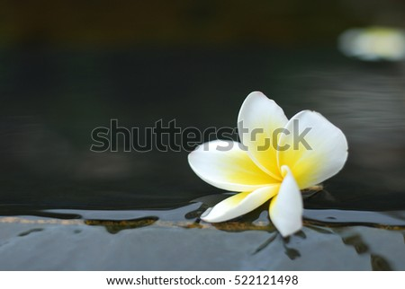Frangipani flower on water background