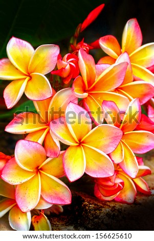 Frangipani flower - pink flowers yellow In nature.