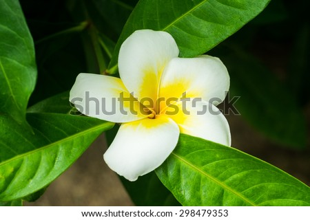 Frangipani flower with leaves