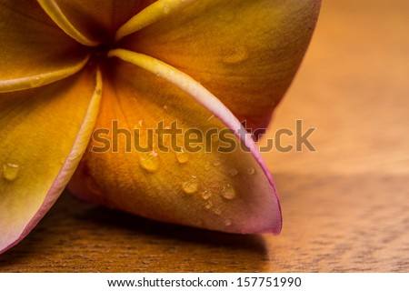 frangipani flower with water drop on wood table