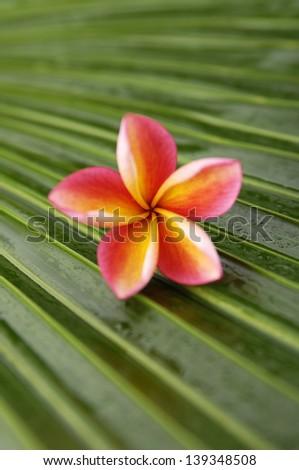 frangipani flowers and palm leaf texture - stock photo