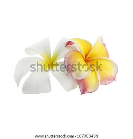 Frangipani flowers color white and pink on white background - stock photo