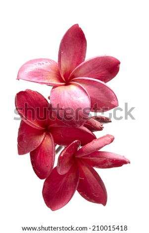 frangipani flowers isolated on the background white - stock photo