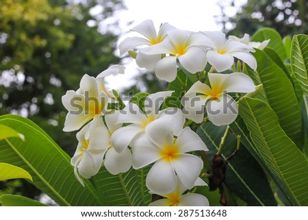 frangipani flowers white and yellow. plumeria the bloom on the tree - stock photo