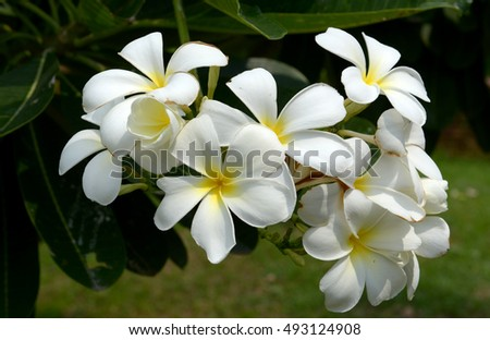 Frangipani flowers with the green background, in the rainy season of Thailand