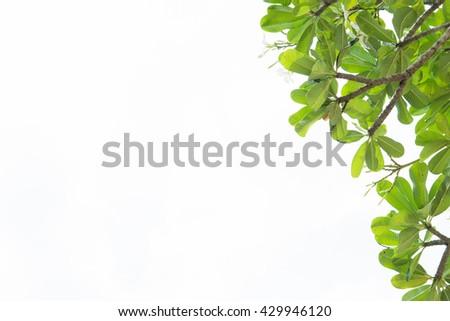 Frangipani Green leaves on white background, Green leaf isolated on white background.  - stock photo