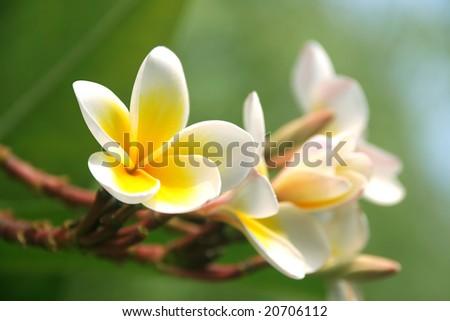 Frangipani in a tropical garden - stock photo