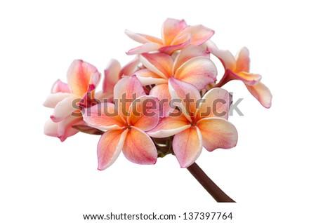 frangipani isolated on white background. - stock photo