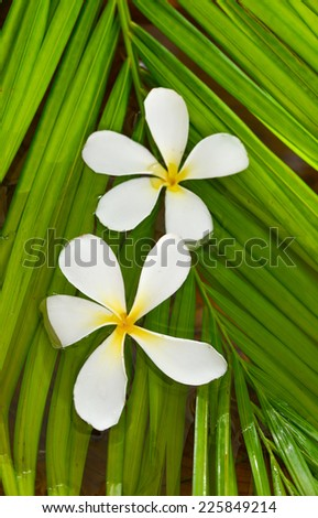 frangipani on palm leaf  - stock photo
