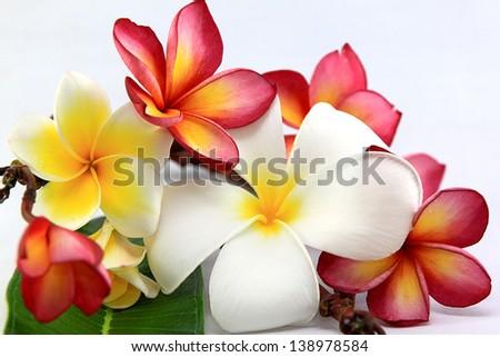 Frangipani on the white background - stock photo