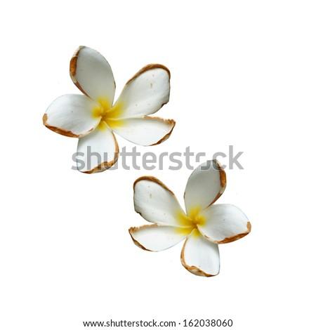 Frangipani on white background - stock photo