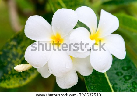 Frangipani or plumeria blossom cluster on the green tree with rain drops on white petals and leaves