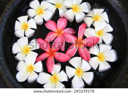 Frangipani or Plumeria flowers in terracotta pot at spa