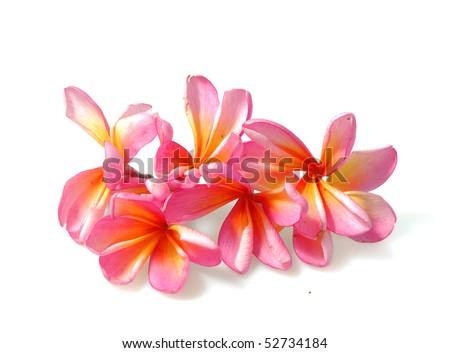 frangipani or plumeria tropical flower - stock photo