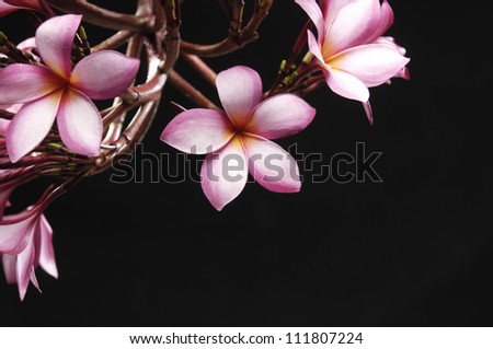 Frangipani (plumeria) against a black background